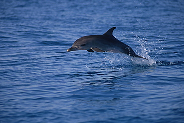 Juvenile Atlantic spotted dolphin (Stenella frontalis) jumping above surface, Bimini, Bahamas