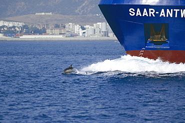 Common dolphin (Delphinus delphis) bow riding cargo ship. Gibraltar Strait.