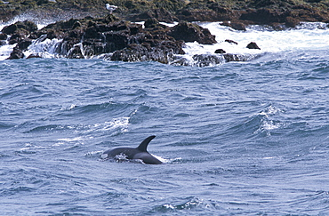 Killer whale (Orcinus orca) foraging for fish, close to the rocks, on the tip of the Snaefellness Peninsular, Iceland.