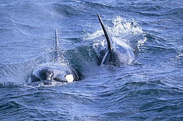 Killer whales (Orcinus orca) surfacing towards the camera in rough water. Olafsvik, Iceland.