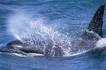Male Killer whale (Orcinus orca) surfacing with blow forming spray over its head. Snaefellsness Peninsular, Iceland