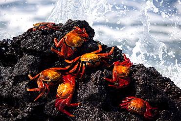 Sally lightfoot red crabs, Galapagos Islands, Ecuador
