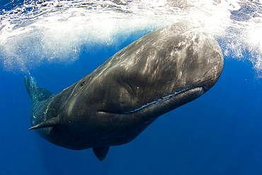 Sperm whale juvenile shot with a fisheye n the Azores Portugal