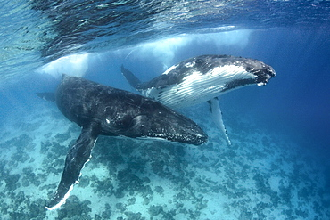 Humpback male and female adults courting above the shallow reef, Vava'u Tonga, South Pacific
