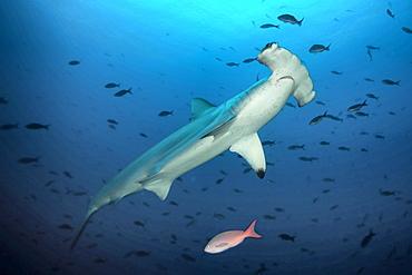 Hammerhead shark swims by, Galapagos Islands Ecuador