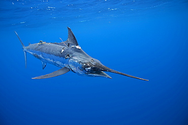 A tagged Blue marlin gasps for air. The Marlin has damaged skin and eyes from being tagged and released a few too many times. Vava'u Tonga in the South Pacific