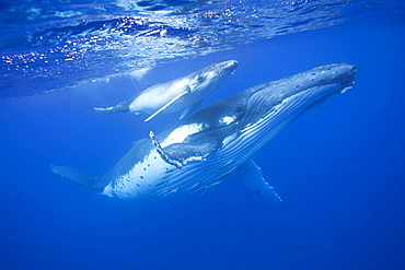 This new born calf with its mother graceful glide together as the mother protects her calf and the calf learns essential behaviour to survive the open ocean. taken in Vava'u Tonga South Pacific