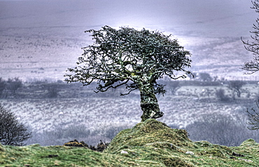 Tree on Bodmin Moor, Cornwall, UK