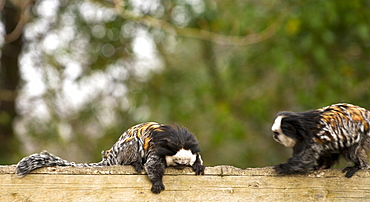 Geoffroys marmoset. Callithrix geoffroyi. captive adults. Newquay zoo Cornwall UK. More info: status: least concern but numbers declining due to habitat destruction, pet trade, zoos, biomedical research and persecution.