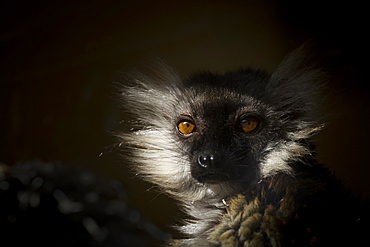 Black Lemur (Eulemur macaco), a vulnerable status adult female lemur from Madagascar, Africa, in France, Europe
