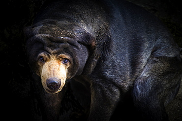 Malayan Sun Bear (Aelarctos malayanus), vulnerable, rapidly declining, down 30 percent due to deforestation, hunting and use in traditional Chinese medicine, France, Europe