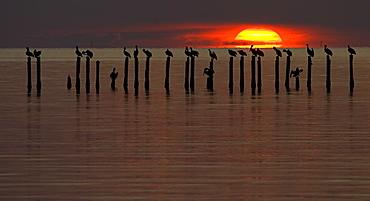 Pelicans' Roost, Pelecaniformes pelecanidae, Pelicans; Pelicans At Sunset; Pelicans roosting at Sunset, Alabama