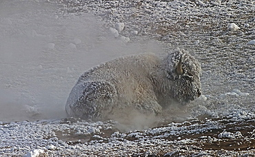 Buffalo laying near steam vent, Bos bison; American Buffalo; American Bison; Yellowstone National Park; Wyoming