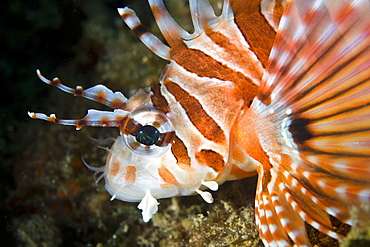 Zebra lionfish (Dendrochirus zebra) Adult animal displaying colo Gangga Island North Sulawesi Indonesia Pacific Ocean. More info: Like all lionfish this species has toxins associated with its dorsal and pectoral
