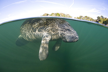 Florida manatee (Trichechus manatus latirostris) Adult animal surfacing to breathe.  Crystal River, Florida, USA.  More info:  This is a subspecies of the West Indian manatee and has been listed as an endangered species by the IUCN.