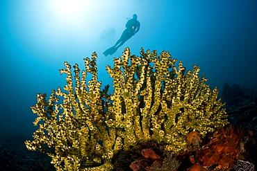 Cup coral colony (Tubastrea micrantha) A diver looks down on a large cup coral colony.  Komodo, Indonesia, Pacific Ocean.