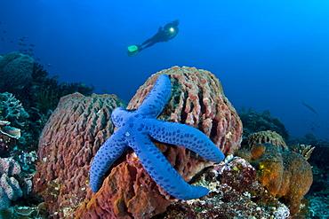 Diver looks down on blue seastar (Linkia laevigata) on a barrel sponge (Xestospongia sp.)  Komodo, Indonesia, Pacific Ocean.