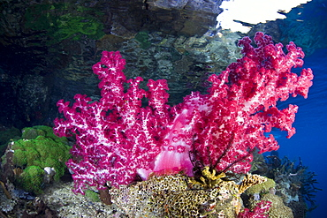 Soft coral (Dendronephthya sp.) growing on shallow coral reef.  Raja Ampat, Papua, Indonesia, Pacific Ocean.
