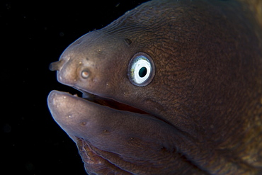 White-eyed moray eel, Siderea thyrsoidea.  Often pokes its head out of holes and crevices on coral reefs in the Indo-Pacific region.  Lembeh Strait, North Sulawesi, Indonesia, Pacific Ocean.