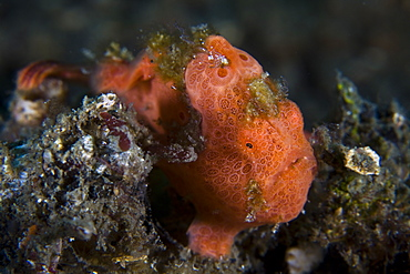Painted frogfish, Antennarius pictus.  Highly variable in color, this species often grows scab-like patches on its body for camouflage.  Lembeh Strait, North Sulawesi, Indonesia, Pacific Ocean.
