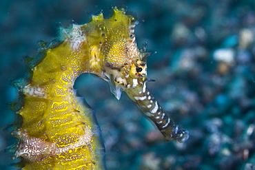 Thorny seahorse, Hippocampus hystrix.  Variable in color, this species is often found in sandy, rubble bottoms clinging to sponges or bits of coral.  Lembeh Strait, North Sulawesi, Indonesia, Pacific Ocean.