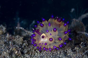 Janolus nudibranch, undescribed species.  Lembeh Strait, North Sulawesi, Indonesia, Pacific Ocean.