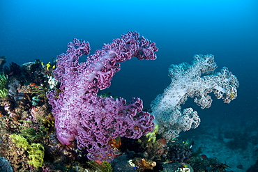 Soft coral colonies (Dendronephthya sp.) growing on coral reef.  Komodo, Indonesia.