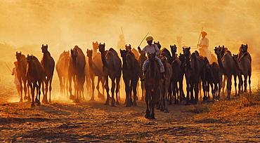 Camels at dusk. Pushkar, Rajasthan, India