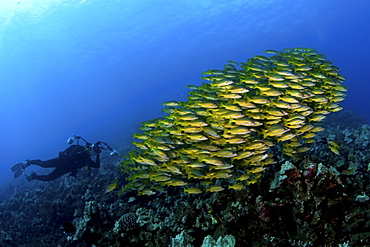 Shoal of snappers and photographer, Maui, Hawaii