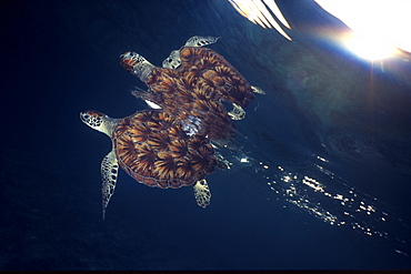 Green sea turtle reflection under surface. Cayman Islands - 1072-5