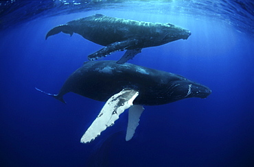 mother and calf Humpback whales. Revillagigedo Islands, Pacific Ocean
