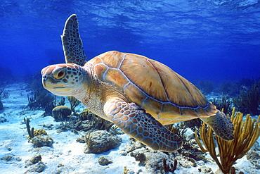 Green sea turtle, Cayman Islands - 1072-71