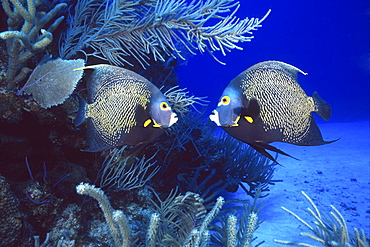 couple of French angelfish, Cayman Islands