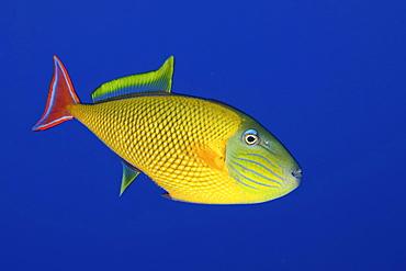 Redtail triggerfish. Socorro. Revillagigedo Islands, Pacific Ocean Pacific Ocean