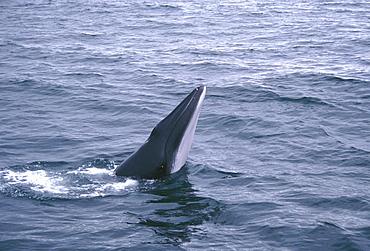 Minke whale ( Balaenoptera acutorostrata) spy hopping, showing throat grooves. Slender rostrum typical of minke whales. Husavik, Iceland