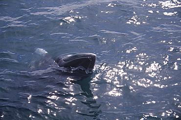 Minke whale (Balaenoptera acutorostrata) spy hopping with white fins and rostrum visible. Husavik, Iceland