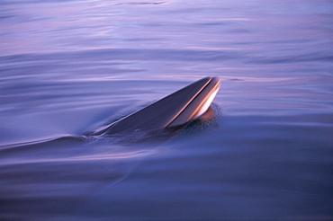 Minke whale (Balaenoptera acutorostrata) spy hopping in low light at sunset with rosturm visible. Husavik, Iceland