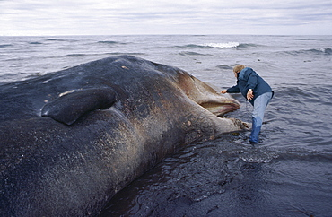 Sperm whale (Physeter macrocephalus / catodon) washed up dead with man standing by head for scale. North coast of Iceland.