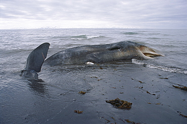 Sperm whale (Physeter macrocephalus / catodon) washed up dead north coast of Iceland.