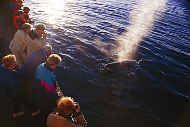 Minke whale ( Balaenoptera acutorostrata) associating with North Sailing whale-watching boat. Blow lit up by low light Fjordland, in far north of Iceland.