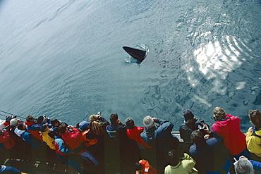 Minke whale (Balaenoptera acutorostrata) spy hopping near a whale-watching boat. Husavik, Iceland