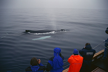 Humpback whale (Megaptera novaeangliae) resting at the suface to breath between feeding dives, while whale-watchers look on. Husavik, Iceland