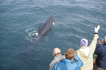 Minke whale (Balaenoptera acutorostrata) surfacing high out of the water in front of some whale-watchers. Husavik, Iceland