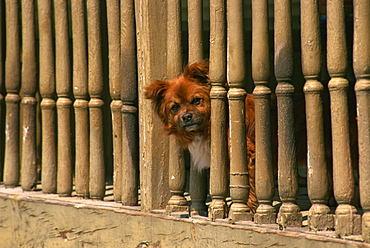 Small dog peeping out, Campo, Leon, Spain, Europe