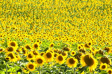 Sunflower (Helianthus) fields, Andalucia, Spain, Europe