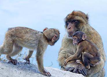 Barbary macaques (Macaca sylvanus) interaction, Gibraltar, Europe