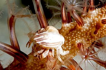 Squat lobster (Galathea sp.), Sulawesi, Indonesia, Southeast Asia, Asia