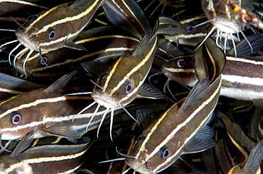 Striped catfish (Plotosus lineatus), Sulawesi, Indonesia, Southeast Asia, Asia