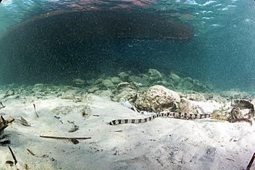 Banded snake eel (Myrichthys colubrinus), Sulawesi, Indonesia, Southeast Asia, Asia
