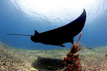 Manta ray over rubble reef, Komodo, Indonesia, Southeast Asia, Asia